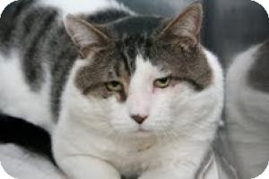 Domestic Shorthair Cat for adoption in East Brunswick, New Jersey - Cheeks - ADOPTED