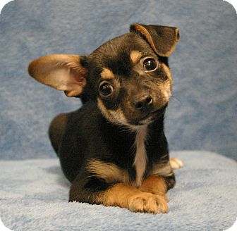 Chihuahua Mix Puppy for adoption in Sacramento, California - Ted