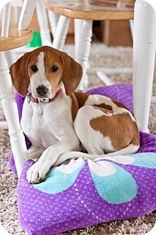 Ibizan Hound/English (Redtick) Coonhound Mix Puppy for adoption in Garden City, Michigan - Kisses