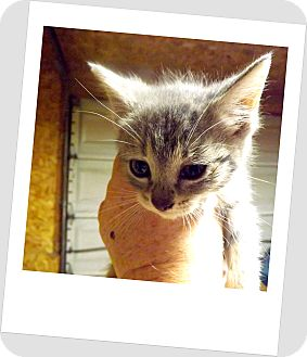 Domestic Shorthair Kitten for adoption in Owosso, Michigan - Lola
