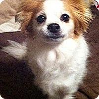 Adopt A Pet :: ChaCha - Toronto, ON