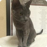 Adopt A Pet :: Sapphire - Fountain Hills, AZ