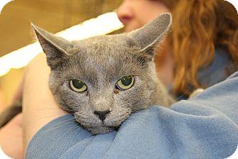Domestic Shorthair Cat for adoption in Rochester, Minnesota - Silvio