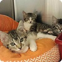 Adopt A Pet :: Taylor - Lawrenceville, GA