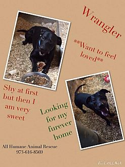Labrador Retriever/Pit Bull Terrier Mix Dog for adoption in Wanaque, New Jersey - wrangler