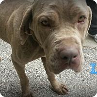 Adopt A Pet :: Luna - Muskegon, MI