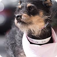 Adopt A Pet :: Hershie - Las Vegas, NV