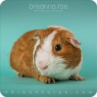 Guinea Pig for adoption in Sheboygan, Wisconsin - Waffle