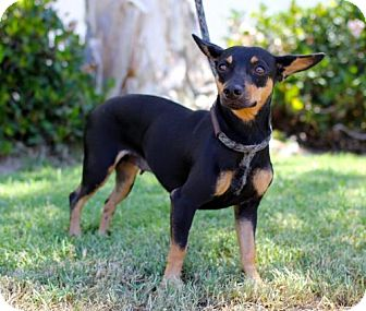 Miniature Pinscher/Manchester Terrier Mix Dog for adoption in San Diego, California - Dirado