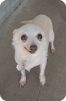 Chihuahua Mix Dog for adoption in House Springs, Missouri - Sugar