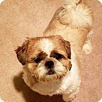 Shih Tzu Dog for adoption in Dartmouth, Massachusetts - Tobey