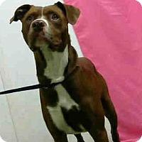 Pit Bull Terrier Mix Dog for adoption in San Bernardino, California - URGENT on 9/24 @DEVORE