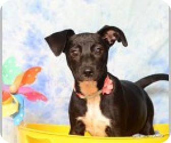 Labrador Retriever/Terrier (Unknown Type, Medium) Mix Puppy for adoption in Pittsboro, North Carolina - Darby