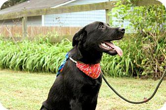 Labrador Retriever Mix Puppy for adoption in Millington, Tennessee - Skip