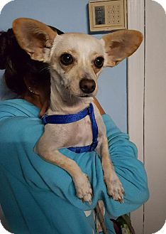 Chihuahua Dog for adoption in Freeport, New York - Baby