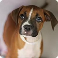 Boxer Puppy for adoption in Phoenix, Arizona - Andrea