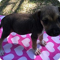Terrier (Unknown Type, Medium) Mix Puppy for adoption in Royal Palm Beach, Florida - Donnie