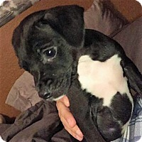 Terrier (Unknown Type, Small)/Dachshund Mix Puppy for adoption in Oakley, California - Tuxedo