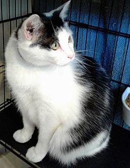 American Shorthair Cat for adoption in Rockville, Maryland - Mel