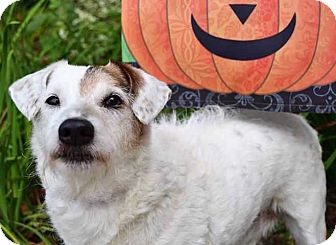 Jack Russell Terrier Mix Dog for adoption in South Bend, Indiana - Patch