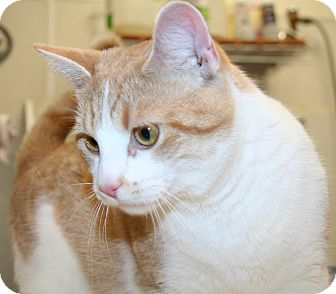 Domestic Shorthair Cat for adoption in Edmonton, Alberta - Quinton