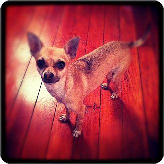 Chihuahua Dog for adoption in Bridgeton, Missouri - Renny-Adoption pending
