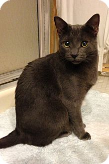 Domestic Shorthair Cat for adoption in Speonk, New York - Selena