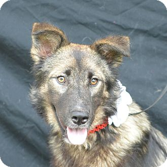 German Shepherd Dog Mix Dog for adoption in Plano, Texas - Lizzie