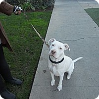 Adopt A Pet :: HONEY BEAR - Valley Village, CA