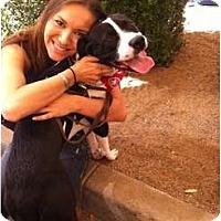 Adopt A Pet :: Saber - Scottsdale, AZ