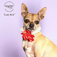 Chinese Crested/Chihuahua Mix Dog for adoption in Houston, Texas - Lady Bird