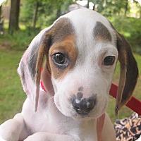 Adopt A Pet :: Snoopy - Allentown, PA