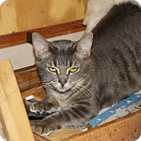 American Shorthair Kitten for adoption in Morriston, Florida - bangs tabby
