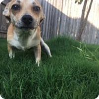Adopt A Pet :: Lemon - San Antonio, TX