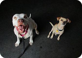 American Bulldog Mix Dog for adoption in Cedar Creek, Texas - Shanti