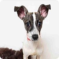 Adopt A Pet :: Shasta - Encino, CA