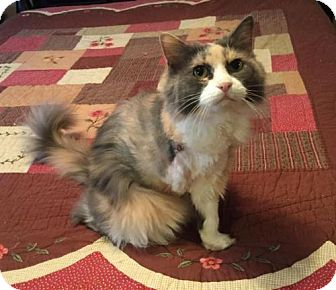 Domestic Longhair Cat for adoption in Johnson City, Tennessee - Fiona