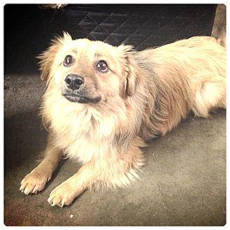 Pomeranian/Spaniel (Unknown Type) Mix Dog for adoption in Glendale, California - LEO