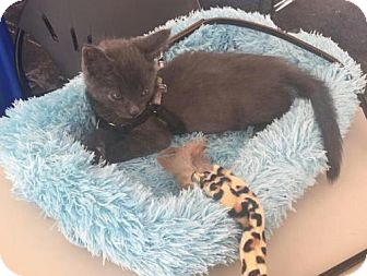 Russian Blue Kitten for adoption in Columbus, Indiana - Lex