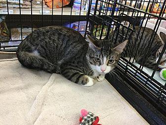 Domestic Shorthair Cat for adoption in Gilbert, Arizona - Heidi