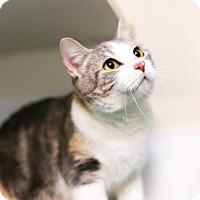 Domestic Shorthair Cat for adoption in Austin, Texas - Melania