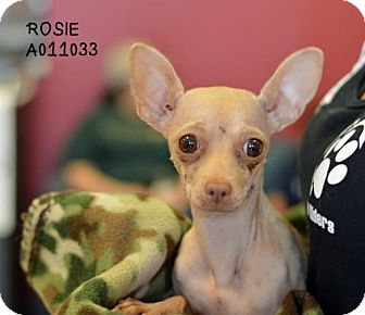 Chihuahua Dog for adoption in Conroe, Texas - Rosie