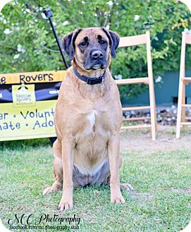 Mastiff Mix Dog for adoption in Salt Lake City, Utah - Amaretto