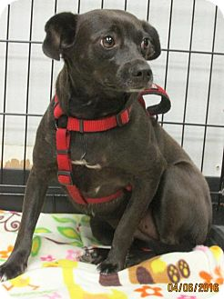 Chihuahua/Jack Russell Terrier Mix Dog for adoption in Conroe, Texas - Mia
