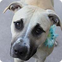 Adopt A Pet :: Coco - Yukon, OK