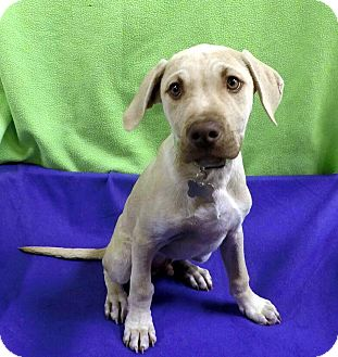 Terrier (Unknown Type, Medium) Mix Puppy for adoption in Detroit, Michigan - Minty-Adopted!