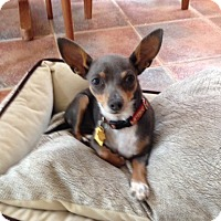 Chihuahua Dog for adoption in Temecula, California - Bella