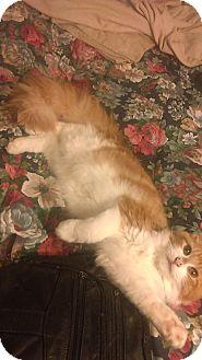 Domestic Longhair Cat for adoption in Whitestone, New York - Tank