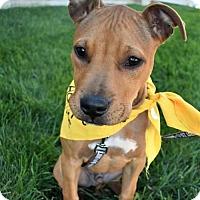 Adopt A Pet :: Dash - Fayette, MO