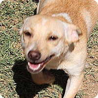 Dachshund Mix Dog for adoption in Phoenix, Arizona - Angela
